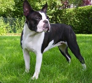 Boston Terrier- Schmeier