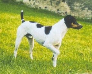 Brasilanischer Terrier