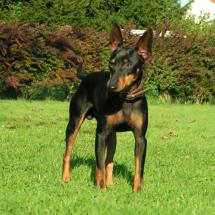 Engl. Toy Terrier